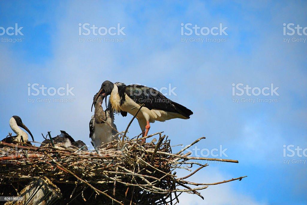 Straw-necked ibis feeding it`s young Bird. stock photo