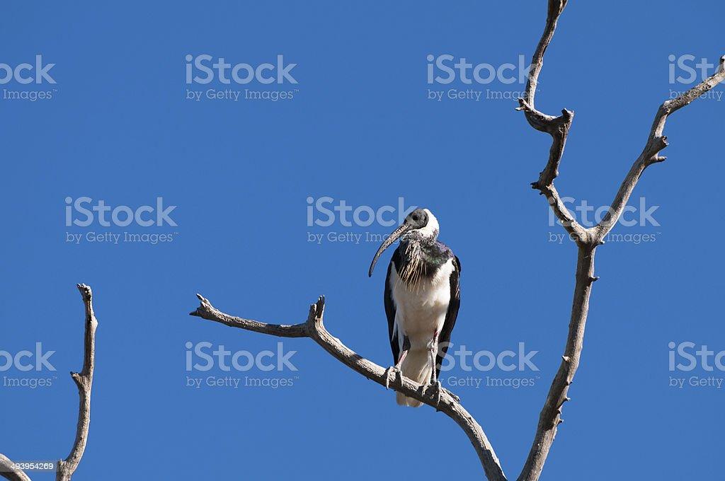 Straw-necked Ibis stock photo