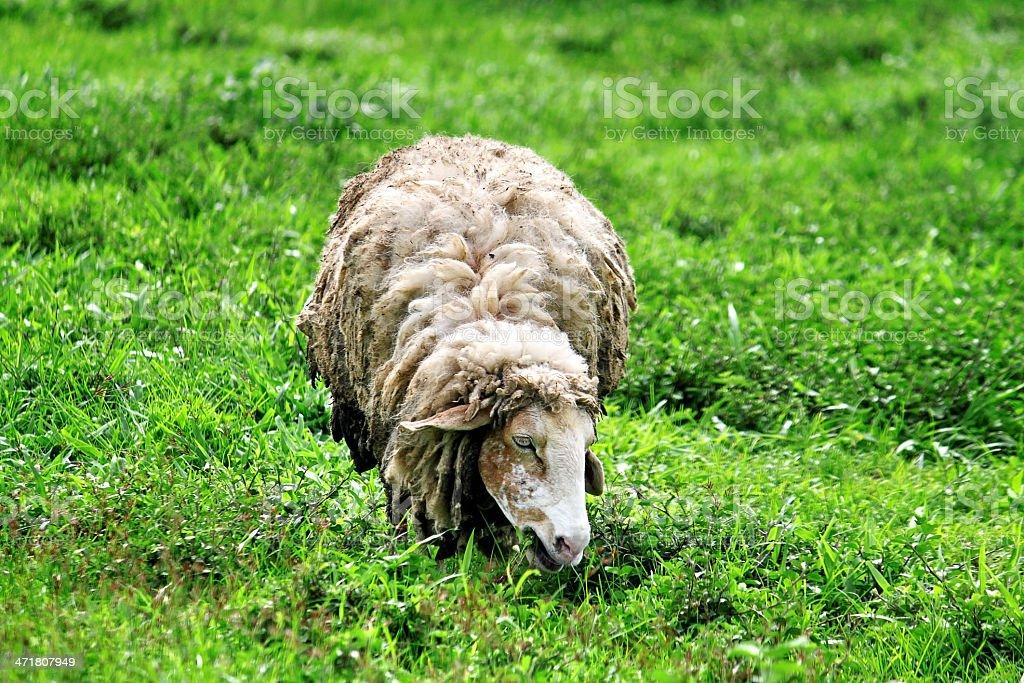 Stray alone sheep royalty-free stock photo