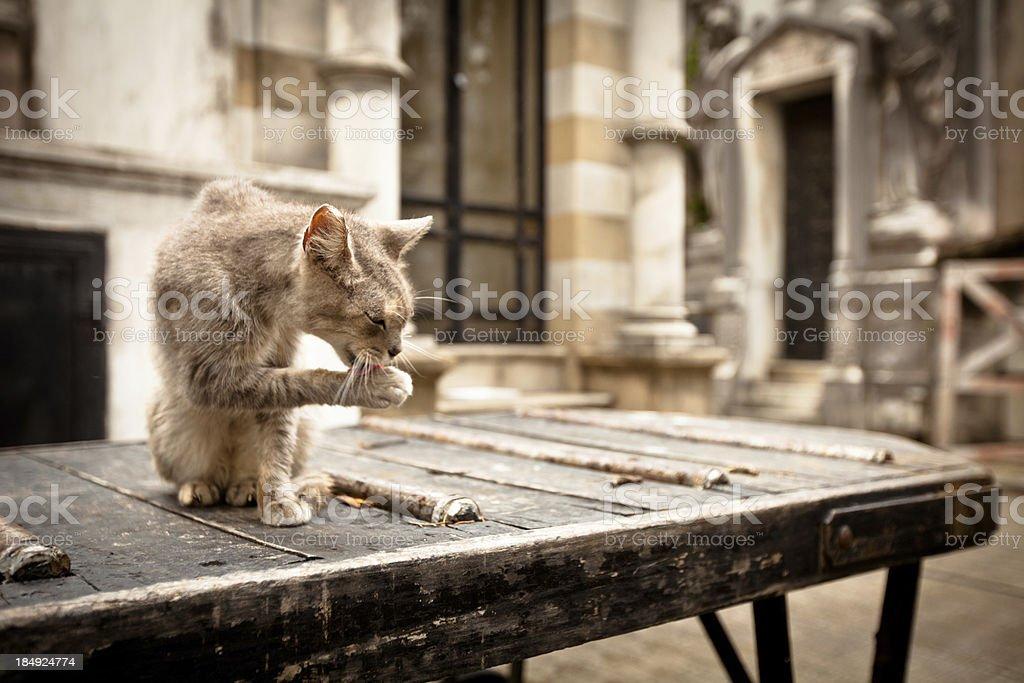 Stray cat in La Recoleta Cemetery royalty-free stock photo
