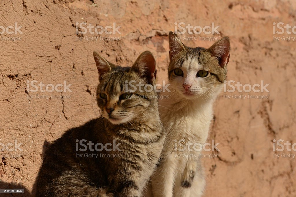 Stray cats, El Badi, Marrakech, Morocco, Africa. stock photo
