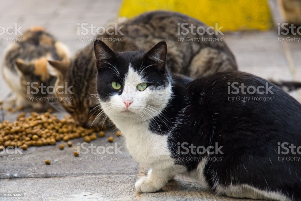 Stray cats from Istanbul, Turkey, eating dry food on the streets, one of the cats looking at the camera stock photo