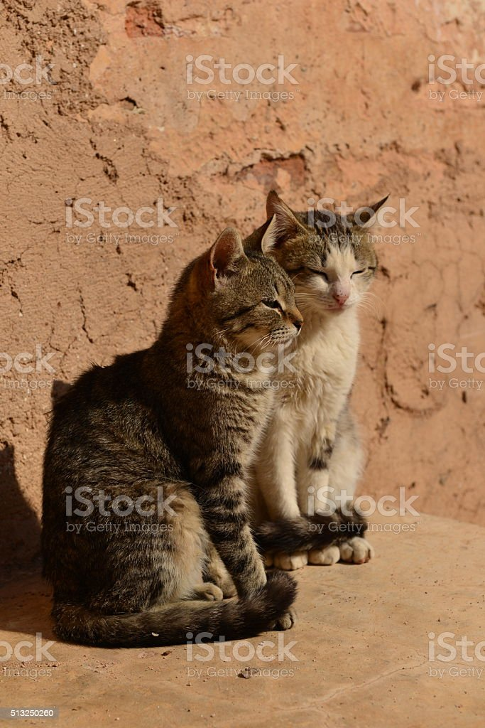 Stray cats, Marrakech, Morocco, Africa. stock photo