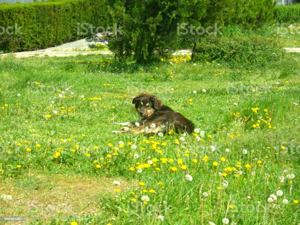 776- Stray dog and a dandelion meadow stock photo