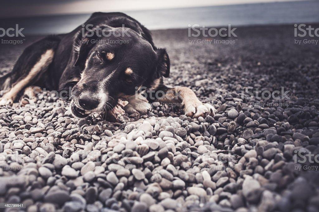 stray dog chewing a bone stock photo
