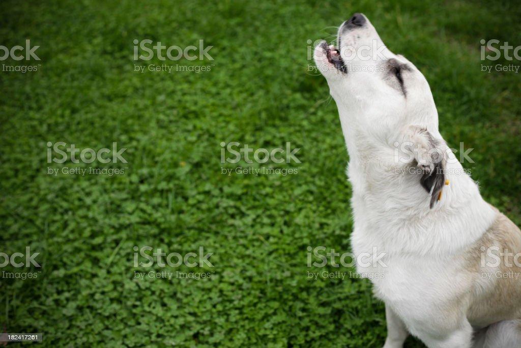 Stray Dog Howling stock photo
