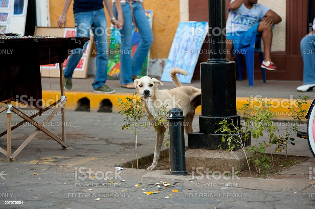 Stray dog is peeing in the middle of busy street stock photo
