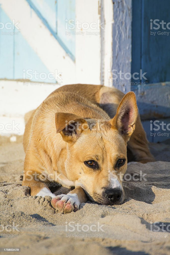 Stray dog on the sand royalty-free stock photo