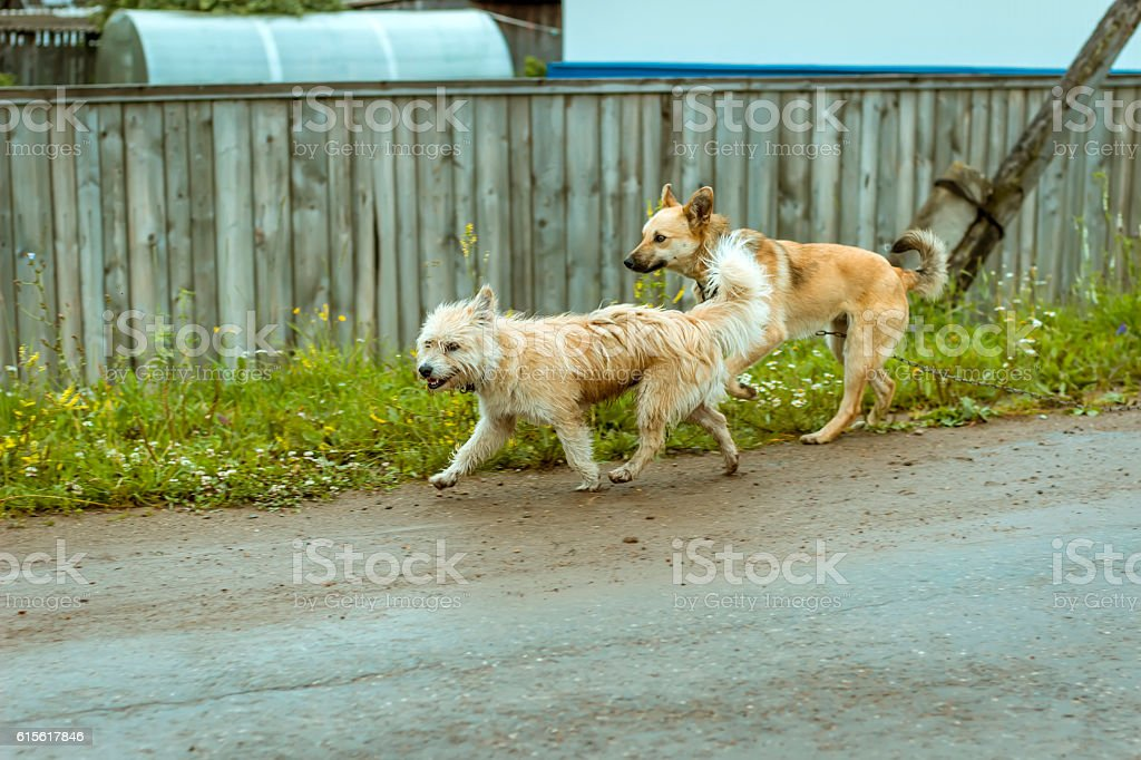 Stray dog ran away with the chain stock photo