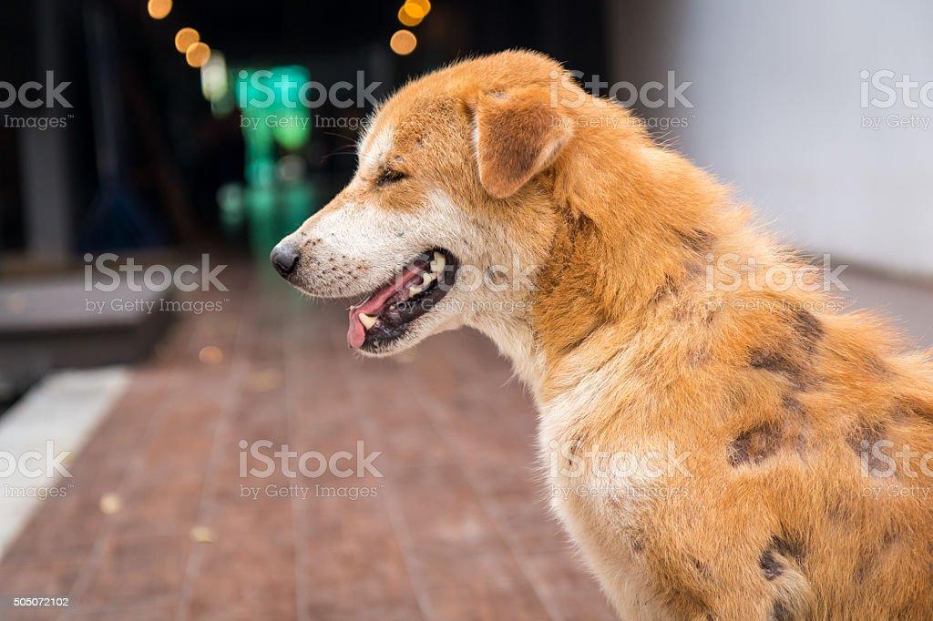 Stray dog skin disease. stock photo