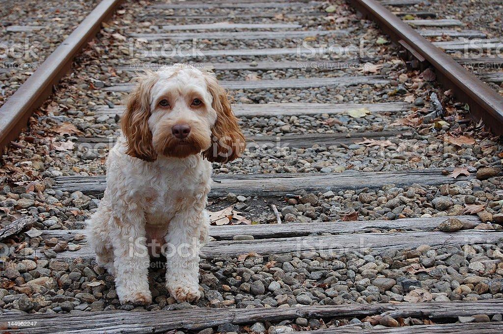 stray puppy stare stock photo