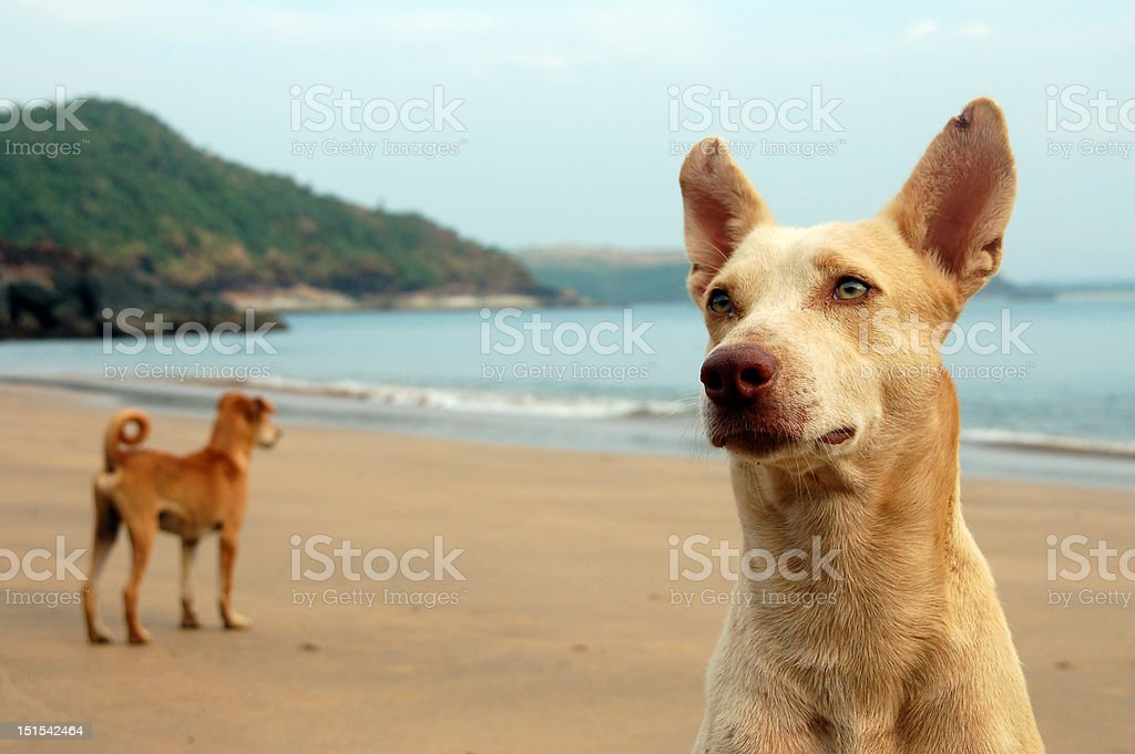 straydogs on a beach stock photo