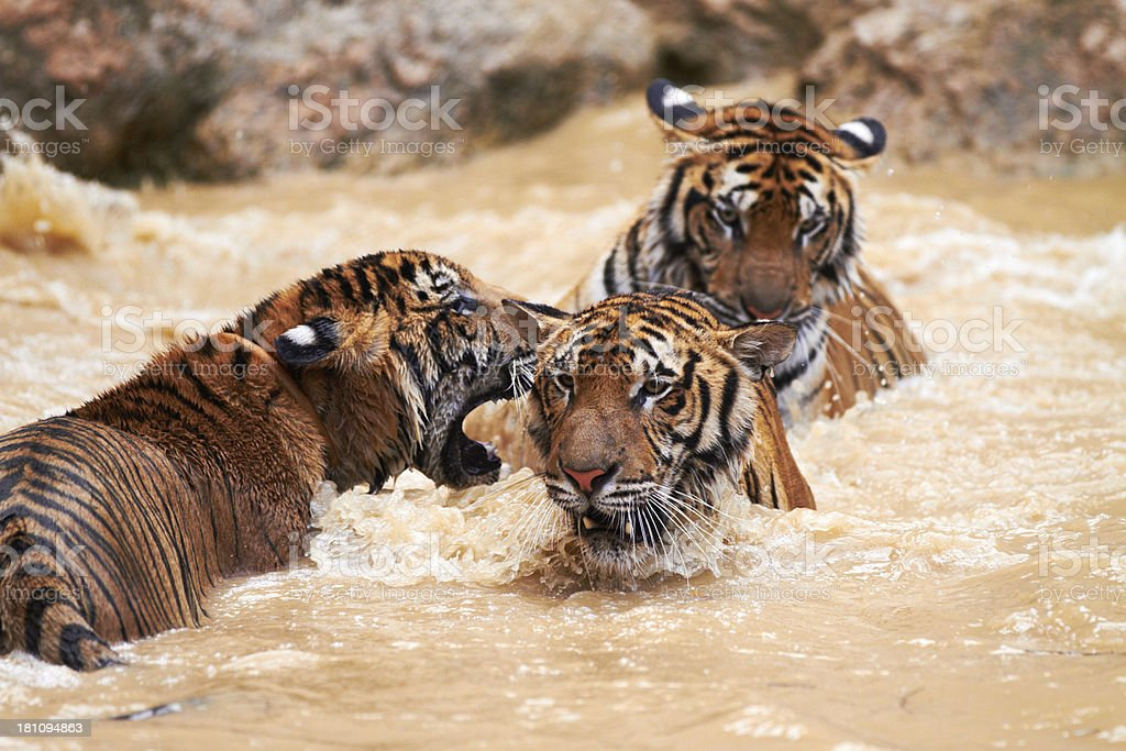 Streak of tigers playing in the water royalty-free stock photo