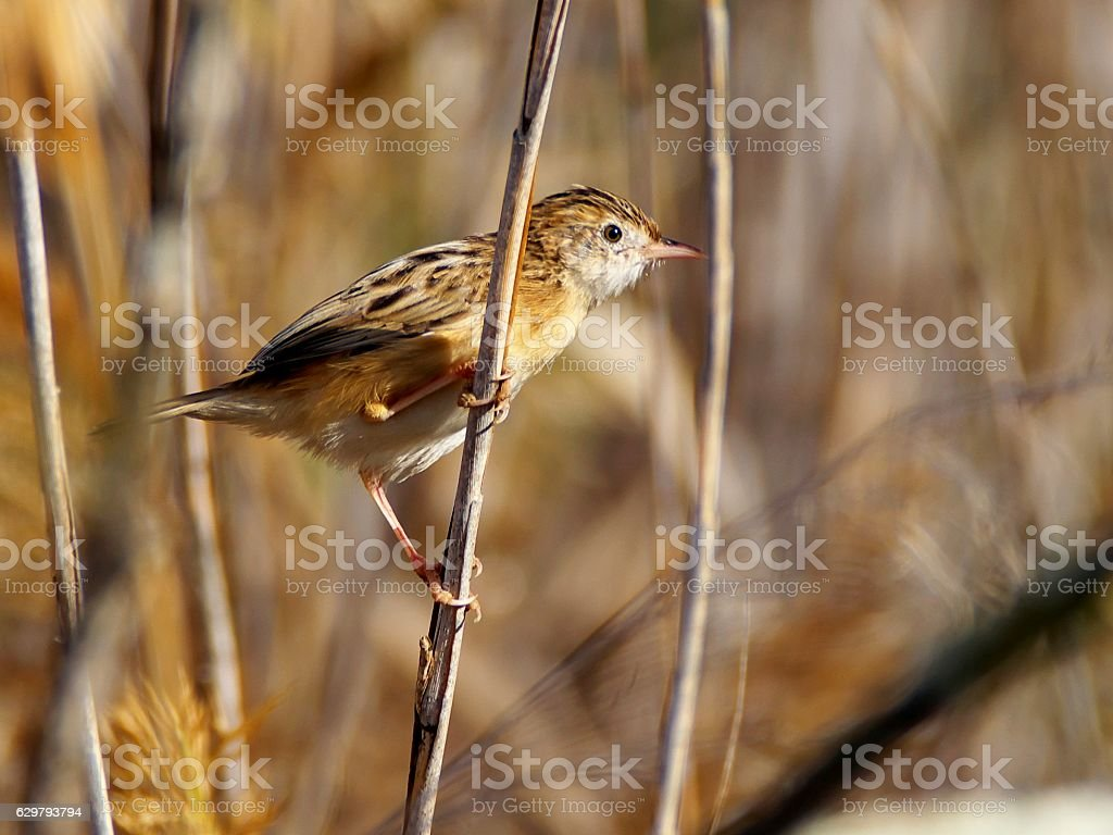 Streaked fantail warbler (zitting cisticola) in reed stock photo