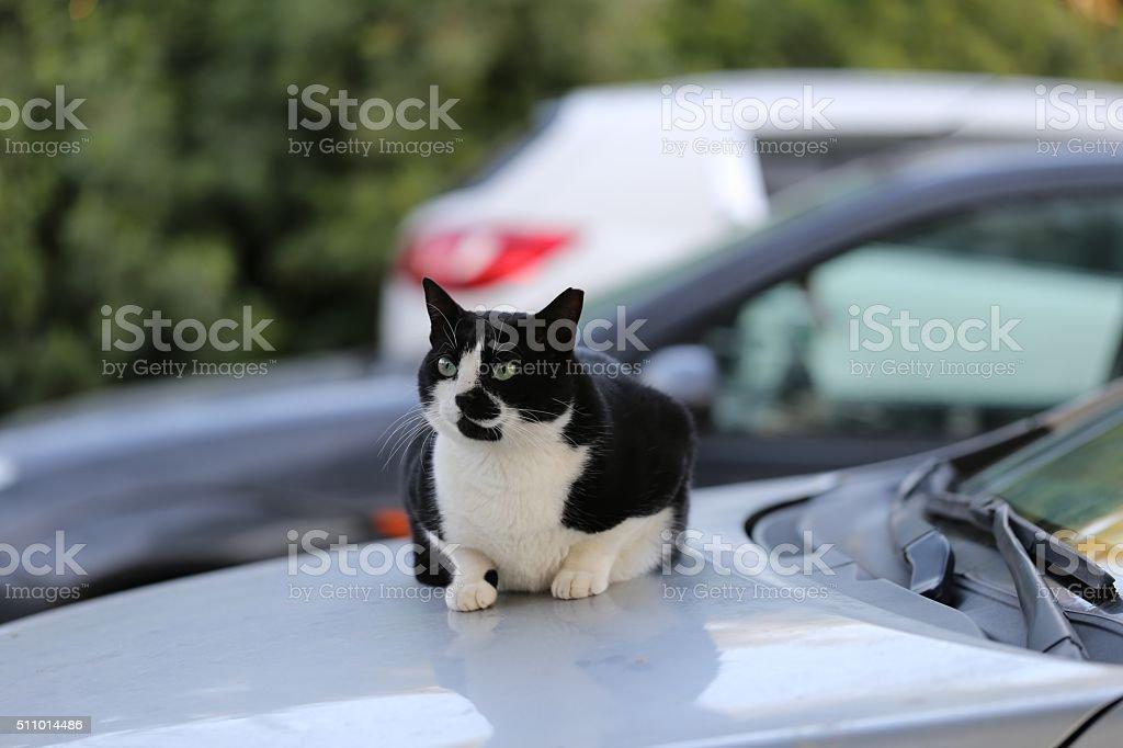 Street Cat on a Car stock photo