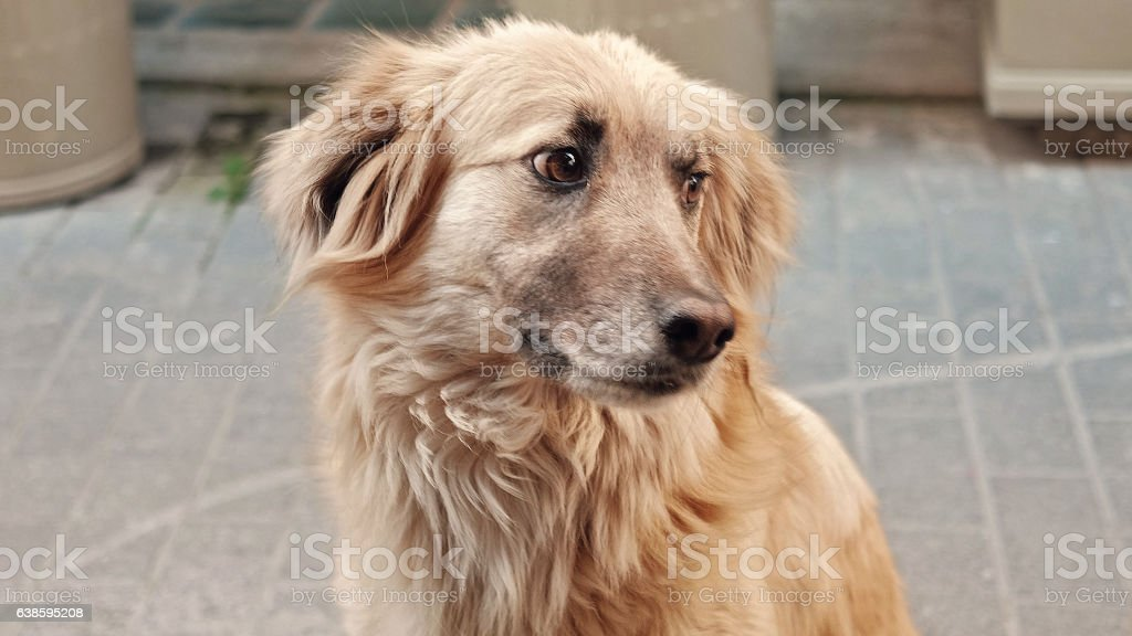 Street dog mix breed with sad expressive eyes stock photo