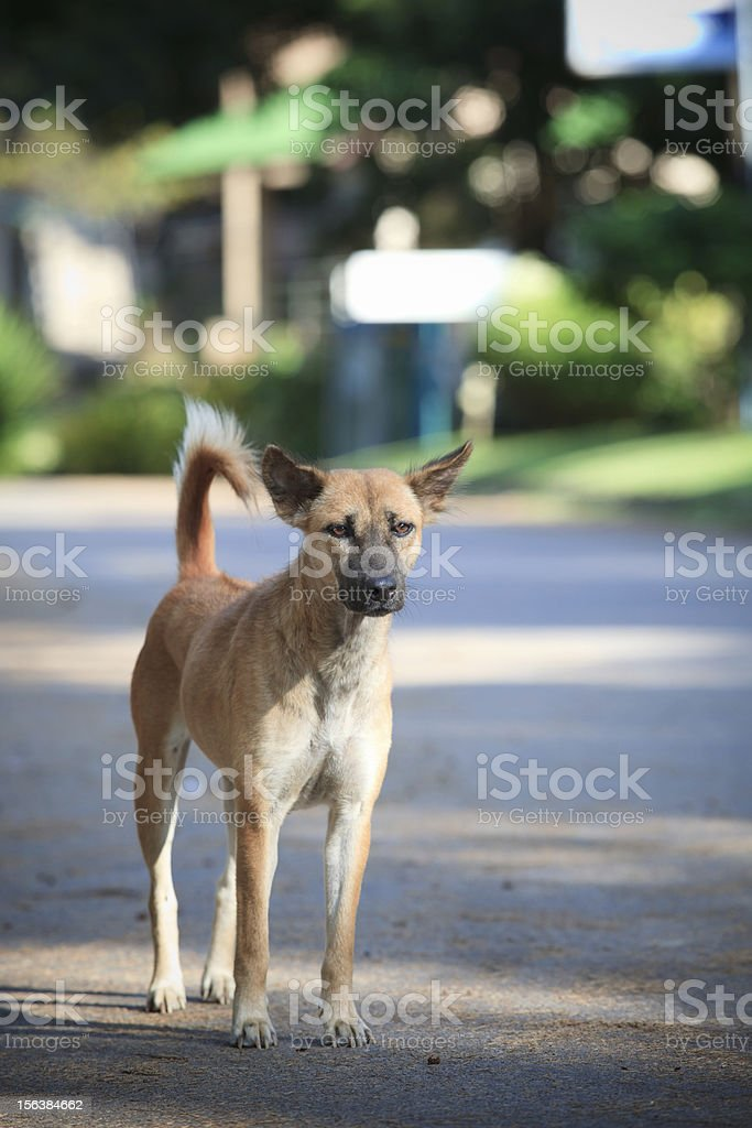 street dog standing on village road royalty-free stock photo