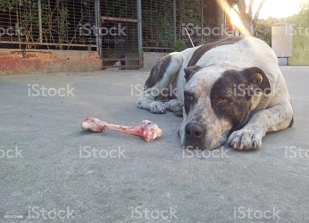 Street dog waiting to eat bone stock photo