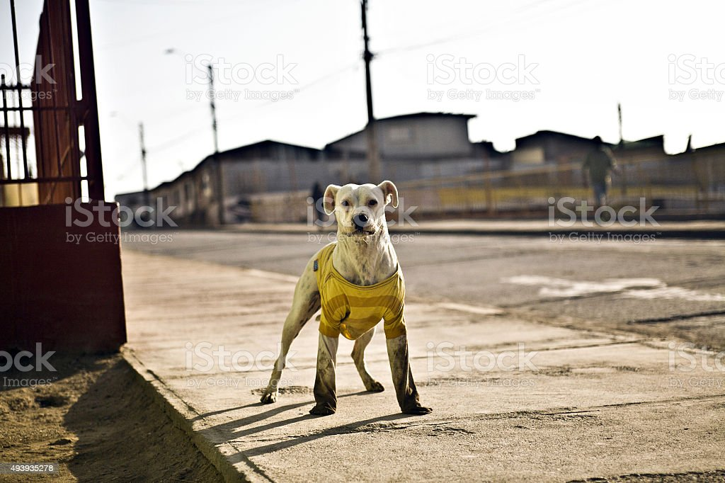 street dog with a dirty shirt stock photo