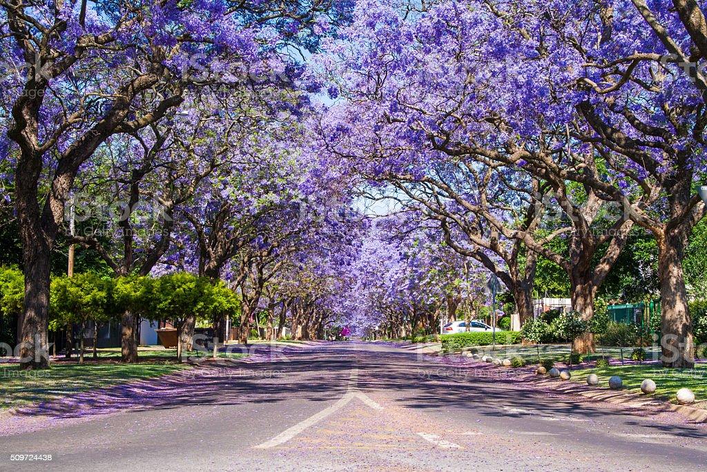 Street in Pretoria lined with Jacaranda trees stock photo