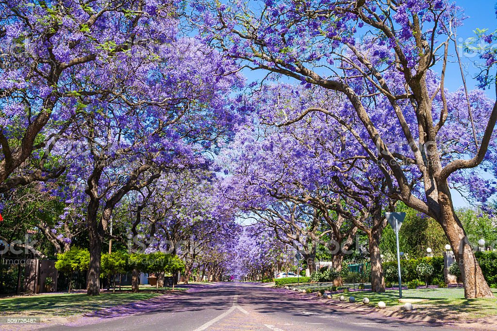 Street in Pretoria with Jacaranda trees stock photo