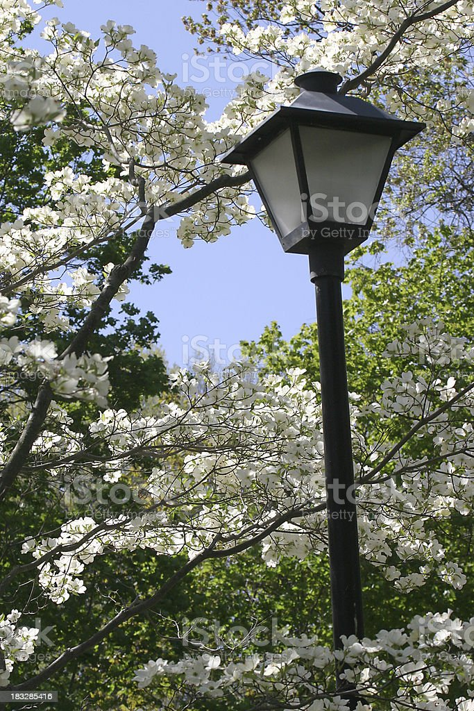 street lamp and dogwoods royalty-free stock photo