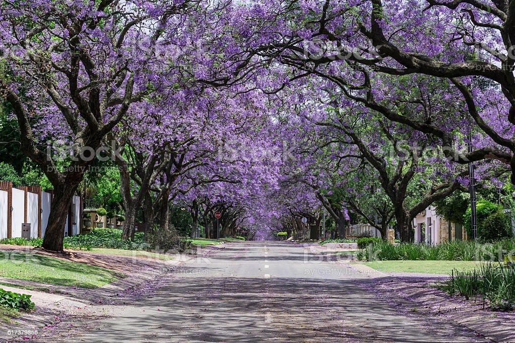 Street lined view of jacaranda trees stock photo