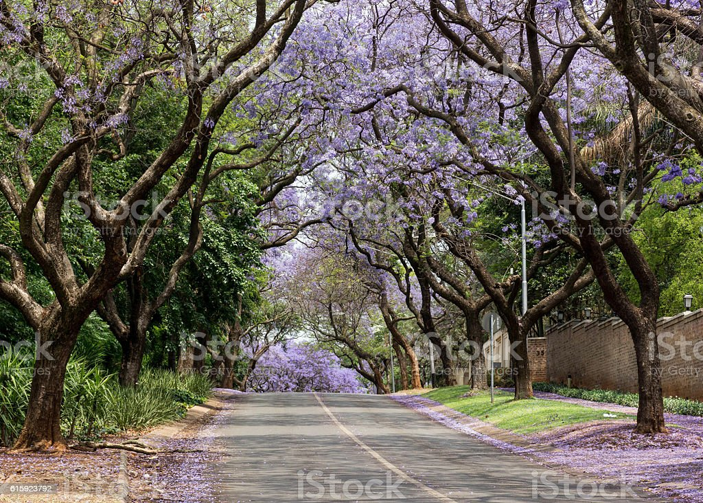 Street lined with Jacaranda trees stock photo