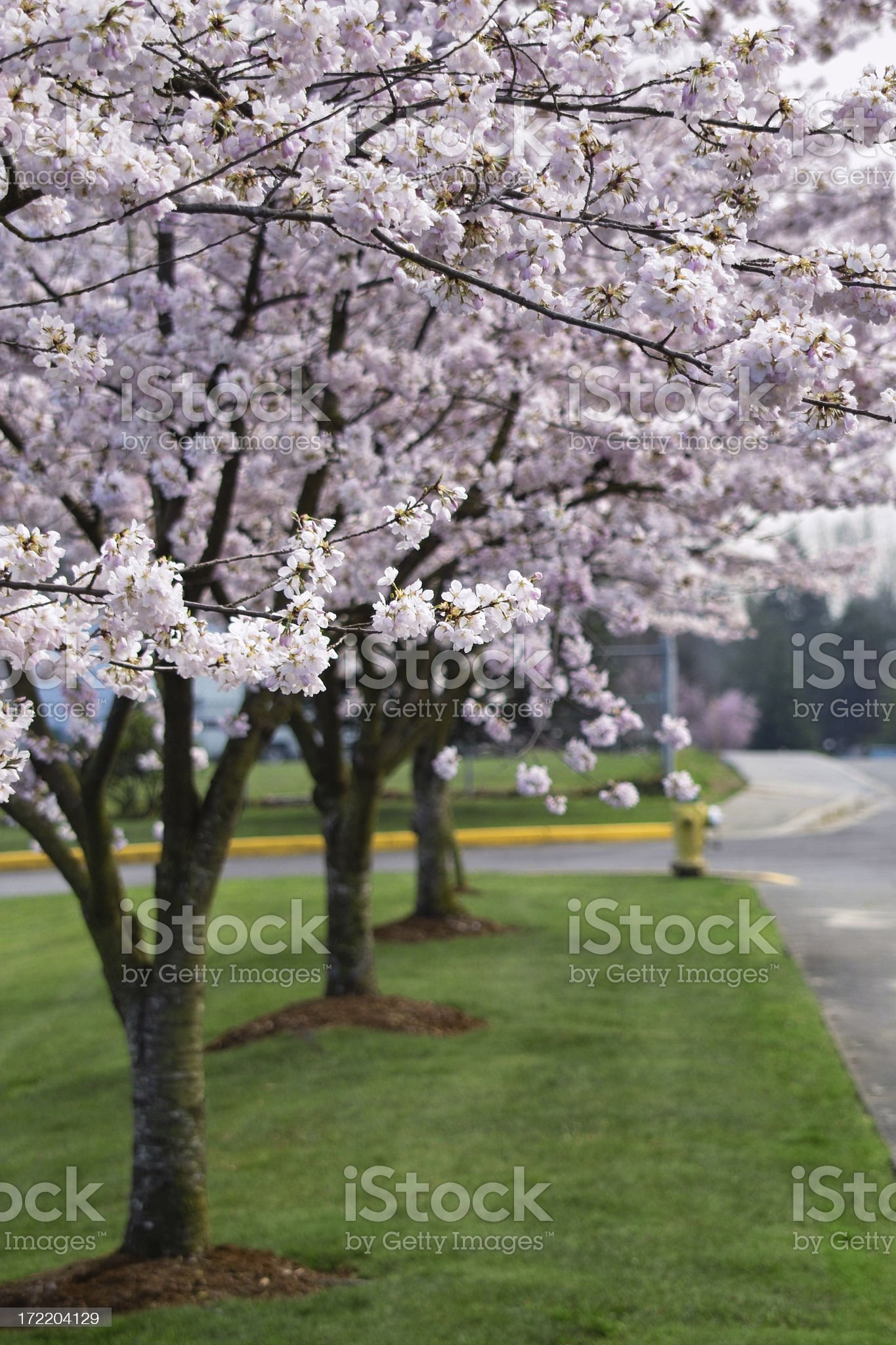 Street of Blossoms royalty-free stock photo