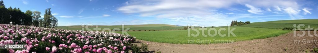 Street view panorama of Peonies and rolling hills of the Palouse stock photo