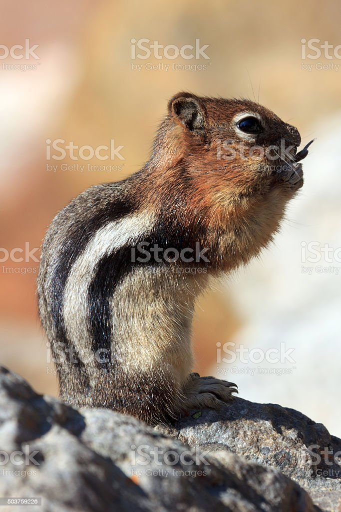 Streifenhörnchen stock photo