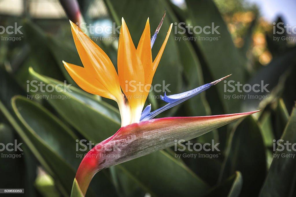 Strelitzia Flower royalty-free stock photo