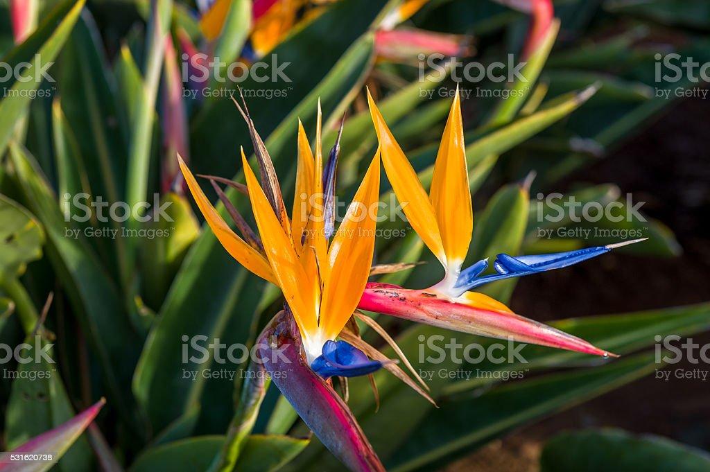 Strelitzia flower, the symbol of Madeira island stock photo