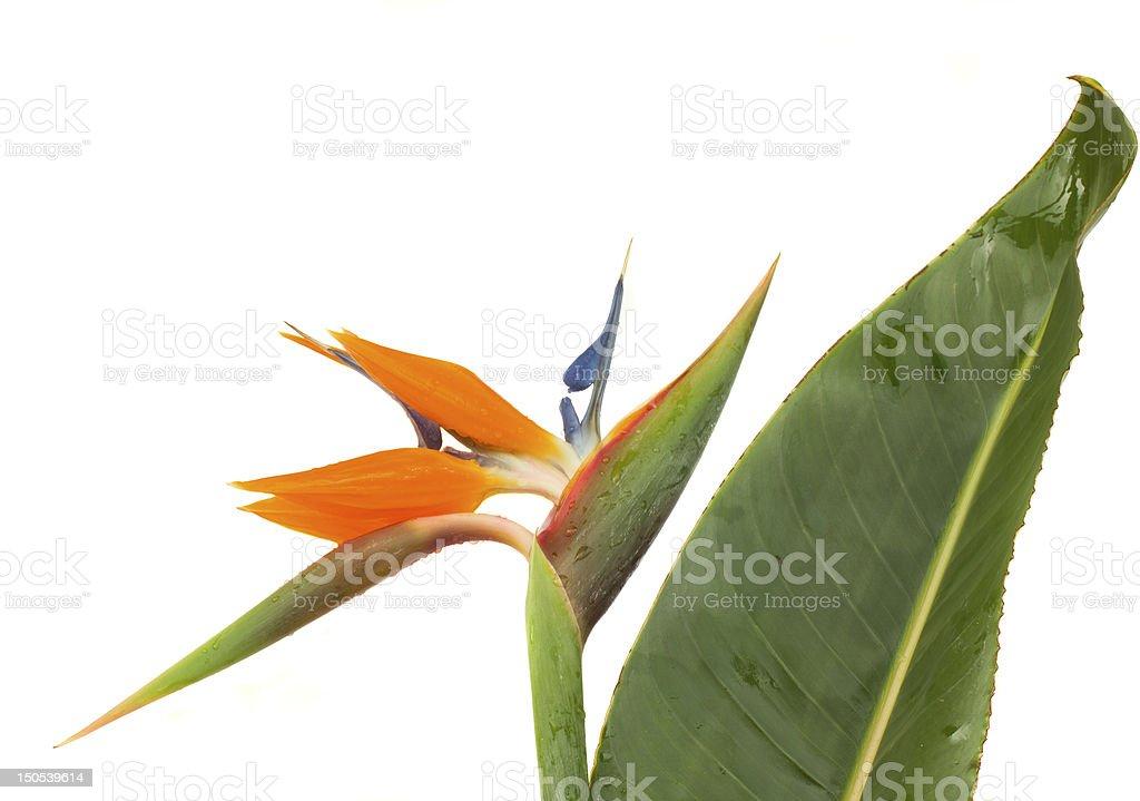 Strelitzia flower with leaf stock photo