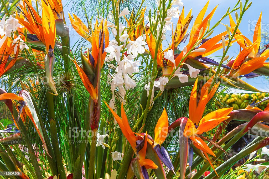 Strelitzia or Bird of Paradise Flower, Madeira Island stock photo