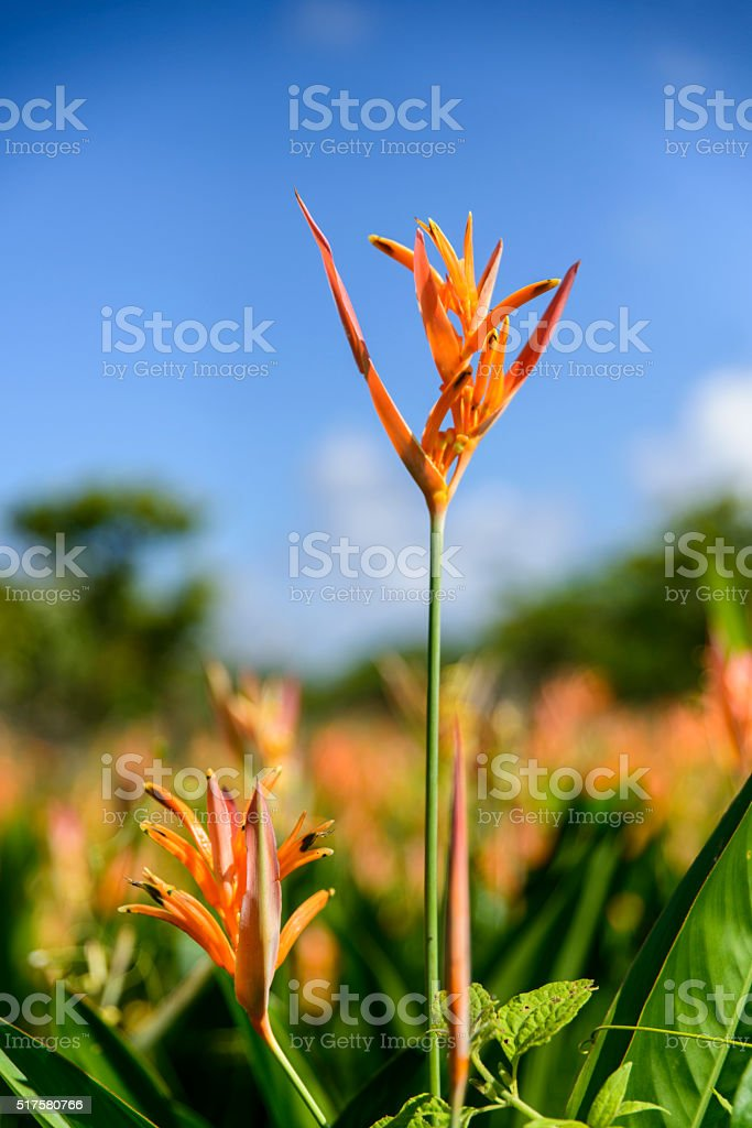 Strelitzia orange flower royalty-free stock photo