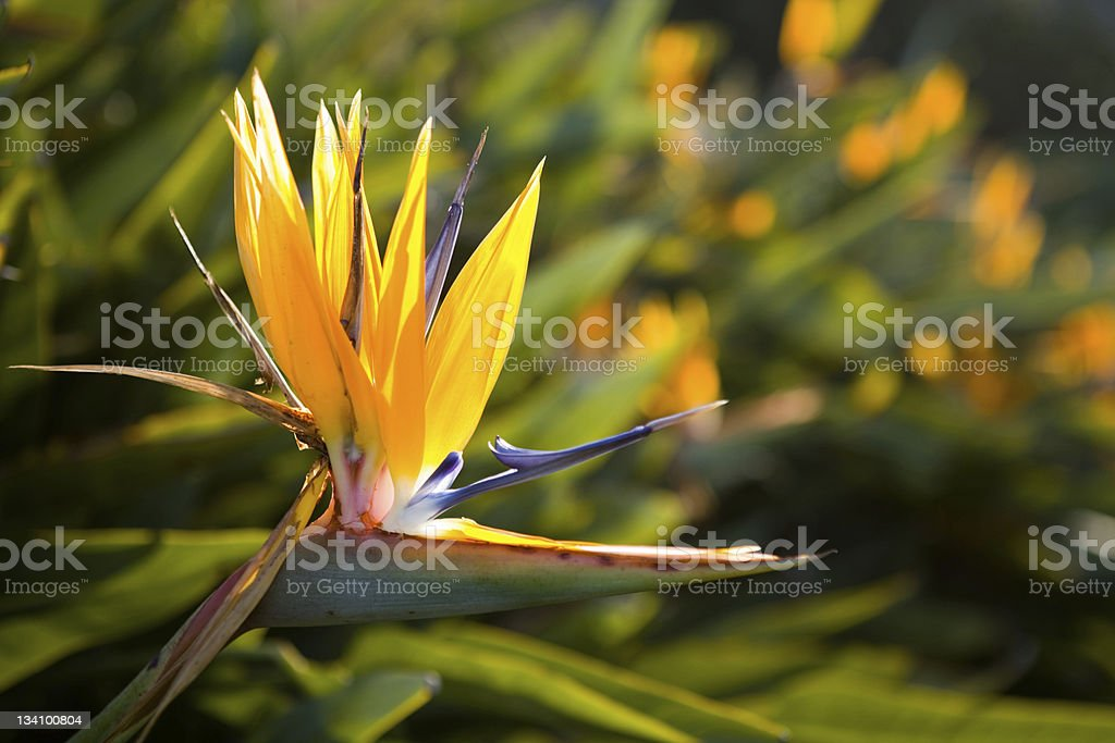 Strelitzia stock photo