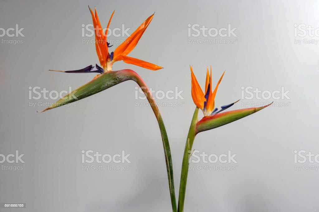 Strelitzia reginae, bird of paradise flower stock photo