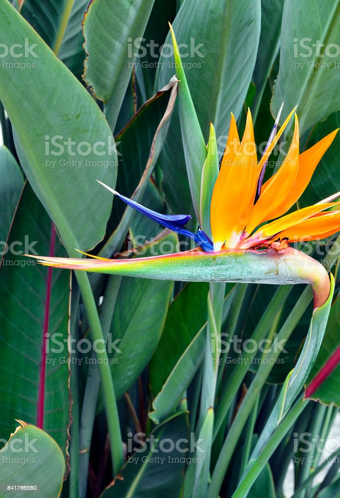 Strelitzia Reginae exotic flower in tropical garden of Tenerife,Canary Islands,Spain.Bird of Paradise flower on green leaves background.Strelitzia. stock photo