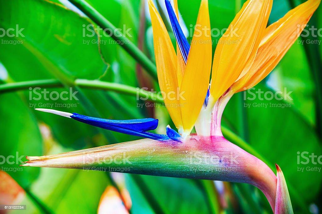 Strelitzia Reginae flover stock photo