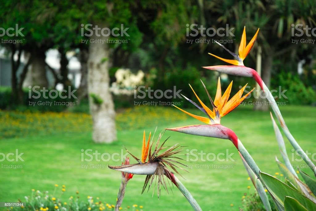 Strelitzia reginae in Namibia stock photo