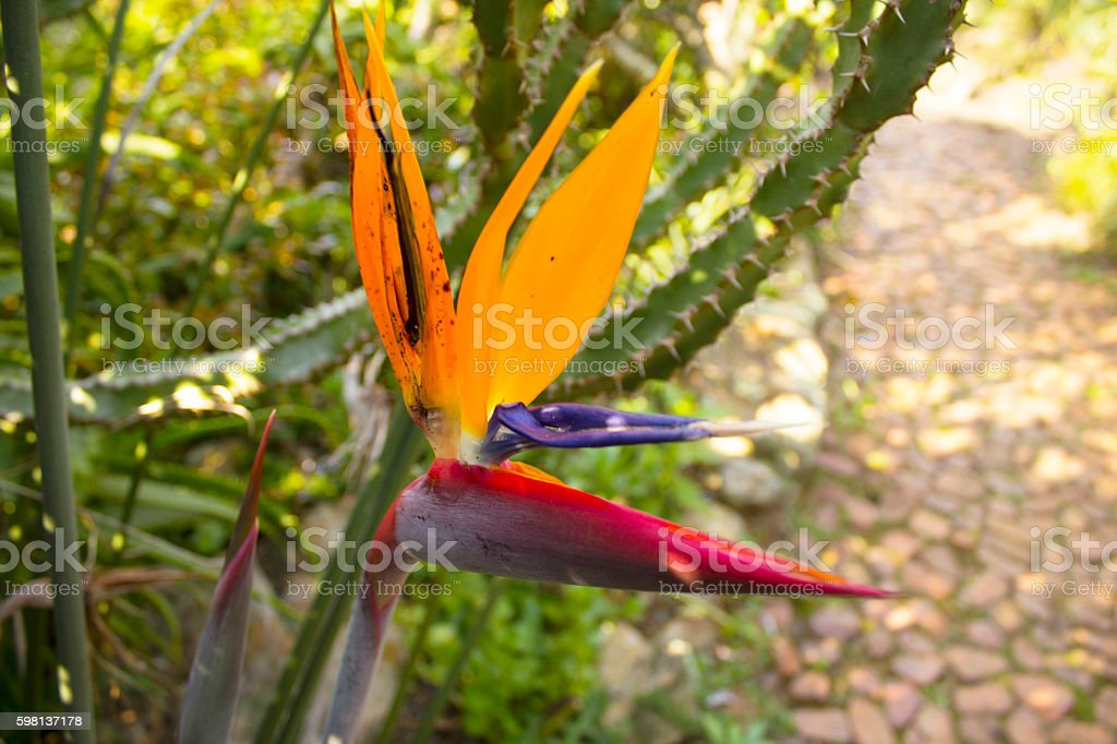 Strelitzia reginae of Kirstenbosch stock photo