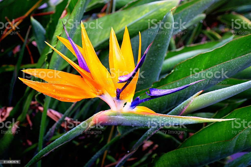 Strelizia flower after rain stock photo