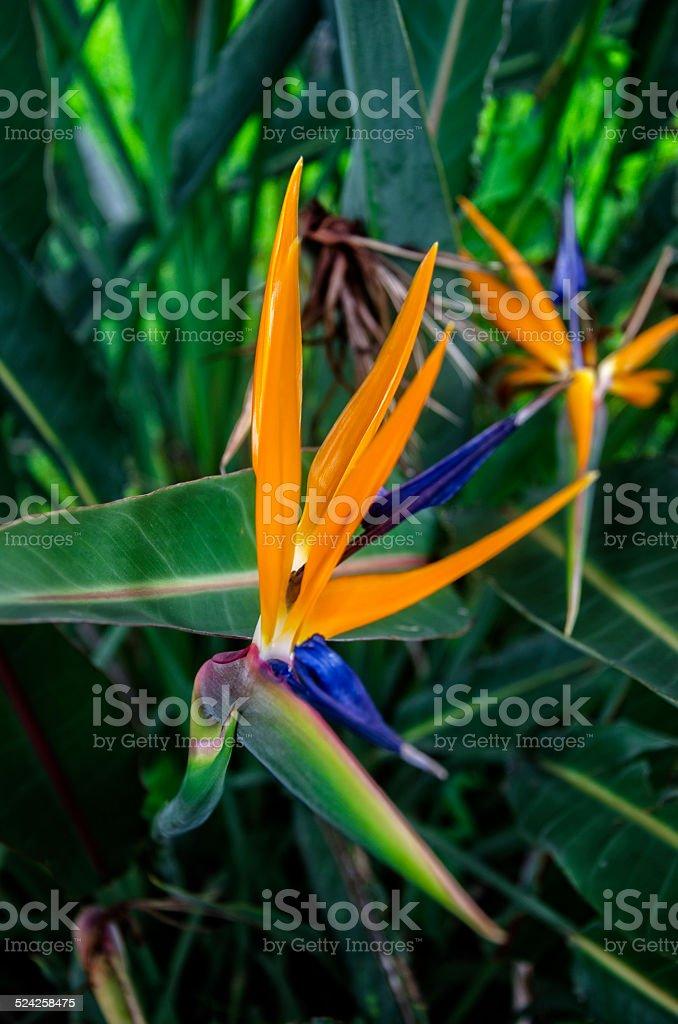 Strelizia flower stock photo