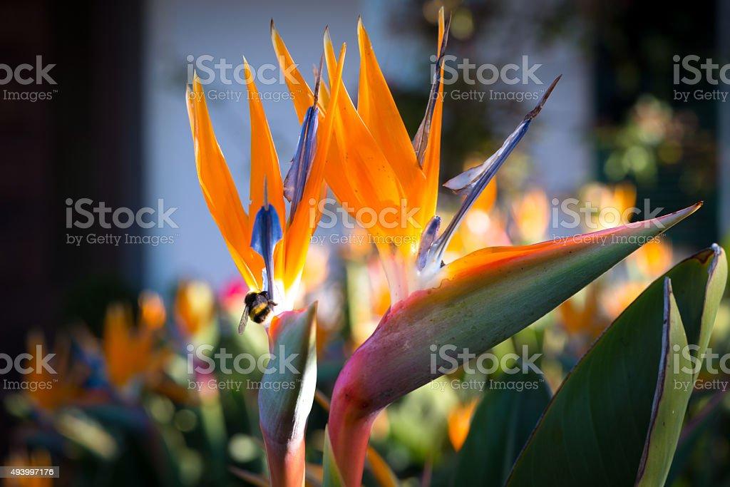 Strelizia reginae, Bird of paradise flower, Madeira stock photo