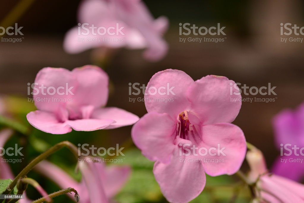 Streptocarpus / Cape Primrose stock photo