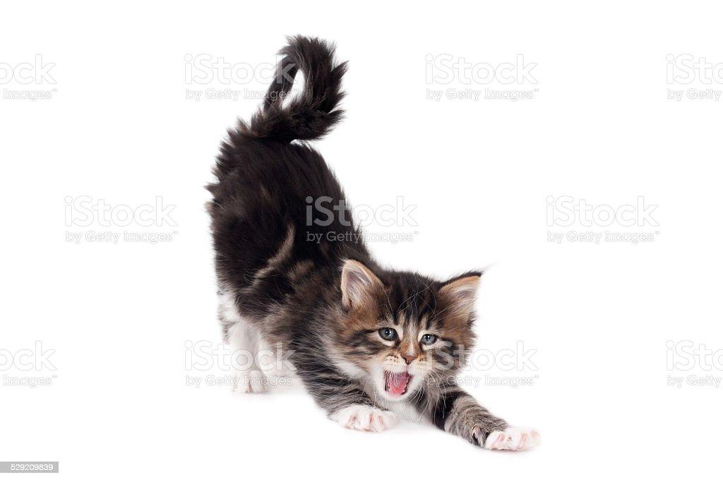 Stretching and yawning kitten stock photo