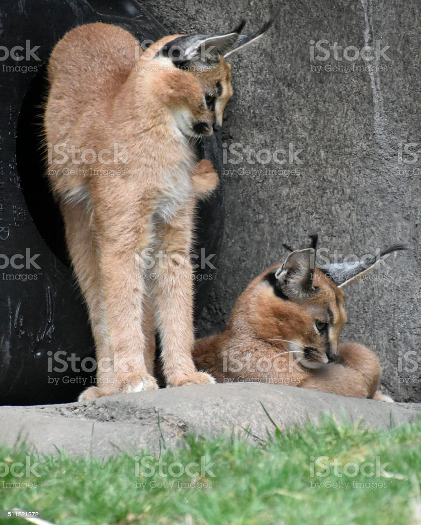 Stretching Caracal Kitten stock photo