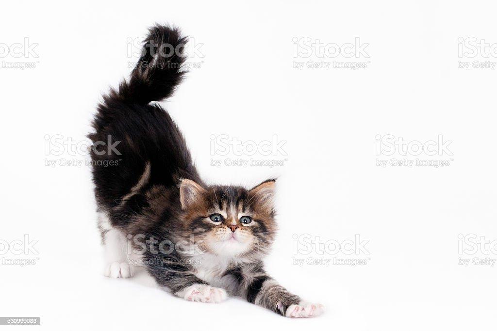 Stretching kitten stock photo