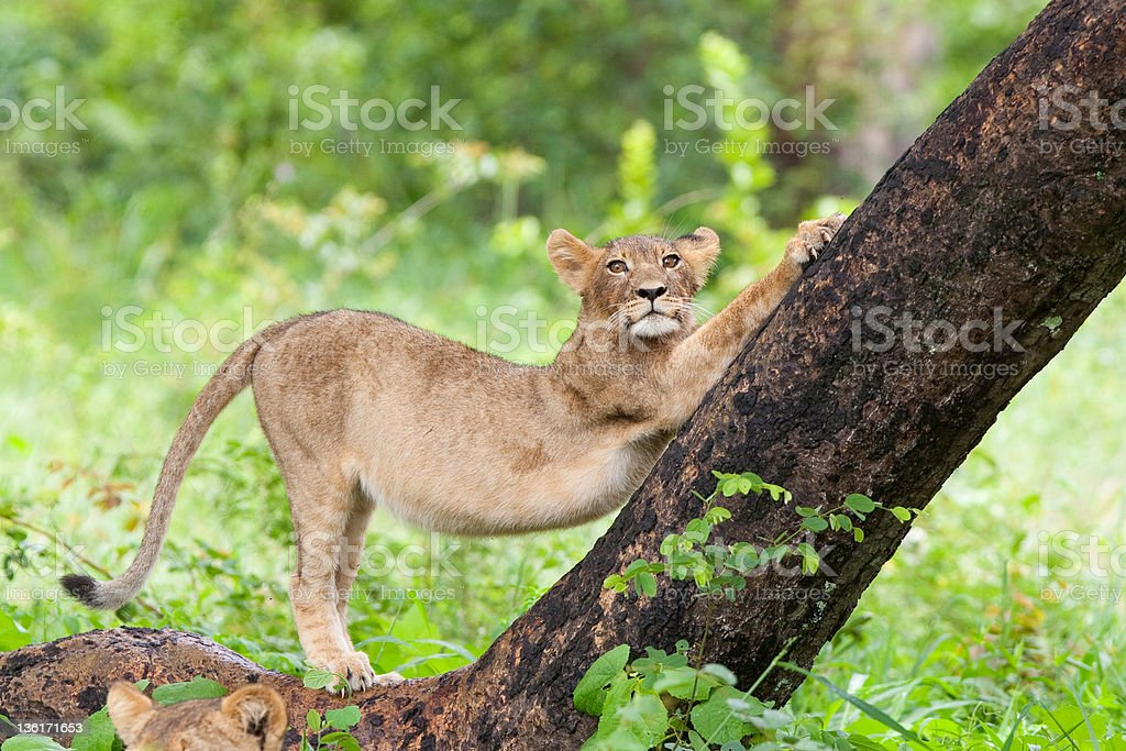 Stretching lion cub stock photo
